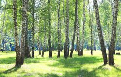 Birch trees with white bark Stock Image