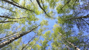 Birches in sunny spring day. The bottom view, zoom out stock footage