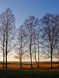 Birches during sunset. Beautiful December evening on the coast Royalty Free Stock Photography