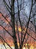 Birches at sunset background Stock Images