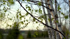 Birches at sunset in spring. stock footage