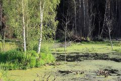 Birches in the swamp Royalty Free Stock Image