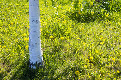 Birches trunk and dandelions in summer Royalty Free Stock Photography