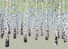 Birches Stock Image