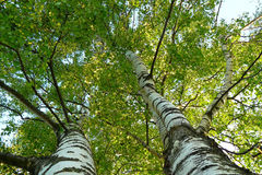 Birches. View from below upwards to the sky Stock Photography