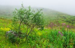 Birches and willow-herb. On the slopes of mountains in the mist Stock Photos