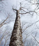 Birches in winter. Only twigs, no leaves Royalty Free Stock Photos