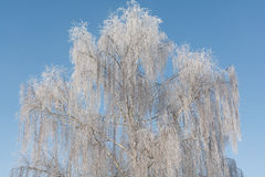 Birches in Winter Royalty Free Stock Photography