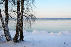 Birches at winter coast Stock Photography