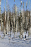 Birches in winter Royalty Free Stock Images