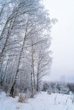 Birches in winter forest with white snow Stock Photos