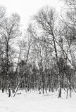 Birches in winter. Winter landscape with birch trees. Trunks of birches in snowy forest stock photography