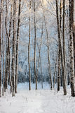 Birches in winter wood Stock Image