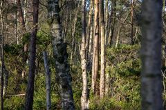 Birches in the woods stock photography