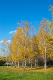 Birches with yellow leaves. Birches with white thin trunks and yellow leaves on the brink of a green glade royalty free stock photos