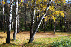 Birches with yellow leaves. On the brink of a green glade stock photo