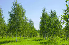 Birches young Royalty Free Stock Images