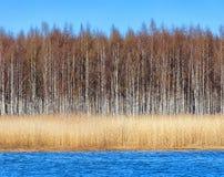 Birchforest en la línea de la playa con seagrass Imágenes de archivo libres de regalías