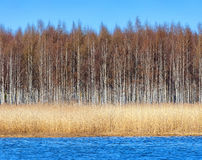 Birchforest at shoreline with seagrass Royalty Free Stock Images