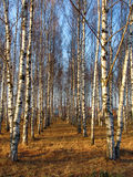Birchgrove. Birch rows in a village Royalty Free Stock Photography