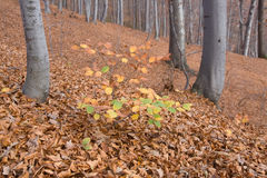 Birchh trees autumn forest Royalty Free Stock Photo
