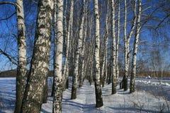 Birchs immagine stock