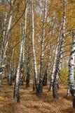 Birchs immagini stock