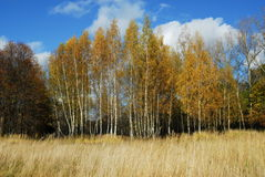 Birchs royalty-vrije stock foto's