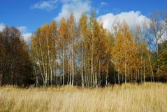Birchs Fotos de Stock Royalty Free