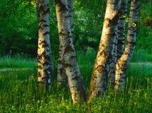 Birchs Obraz Royalty Free