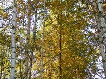 Birchs bouclés avec les feuilles vertes images stock
