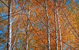 Birchs con amarillo se va contra el cielo azul Foto de archivo libre de regalías