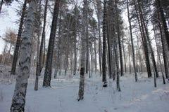 Birchs e pini Immagini Stock Libere da Diritti