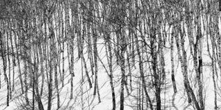 Birchs en invierno Fotografía de archivo libre de regalías