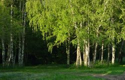 Birchs  in morning Royalty Free Stock Photo