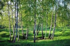 Birchs. Paesaggio del nord. Fotografia Stock Libera da Diritti