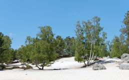 Birchs and sand in Fontainebleau forest s Stock Image