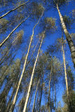 Birchs tegen een hemelachtergrond. Royalty-vrije Stock Afbeelding