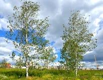 Birchs w Zaryadye krajobrazu parku Zdjęcia Stock