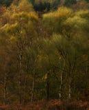 Birchs y viento Fotografía de archivo libre de regalías