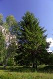 Birchtree y picea Imagen de archivo