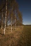 Birchtrees Stockfoto