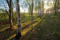 birchwood τοπίο πτώσης Στοκ Εικόνες