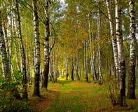 birchwood осени Стоковая Фотография