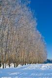Birchwood Fotografia Stock