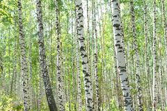 Birchwood Foto de Stock