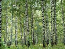 Birchwood Imagenes de archivo