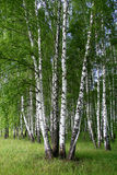 Birchwood. A summer birchwood in Russia Stock Images