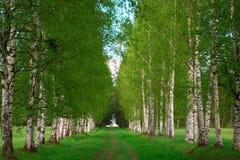 Birchwood стоковая фотография rf