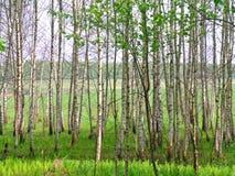 Birchwood Photos stock